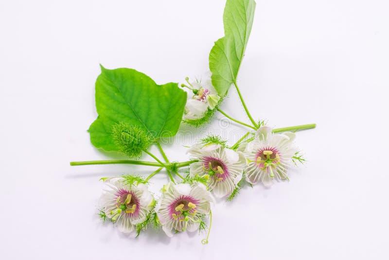 Cuchnący passionflowers na bielu fotografia stock