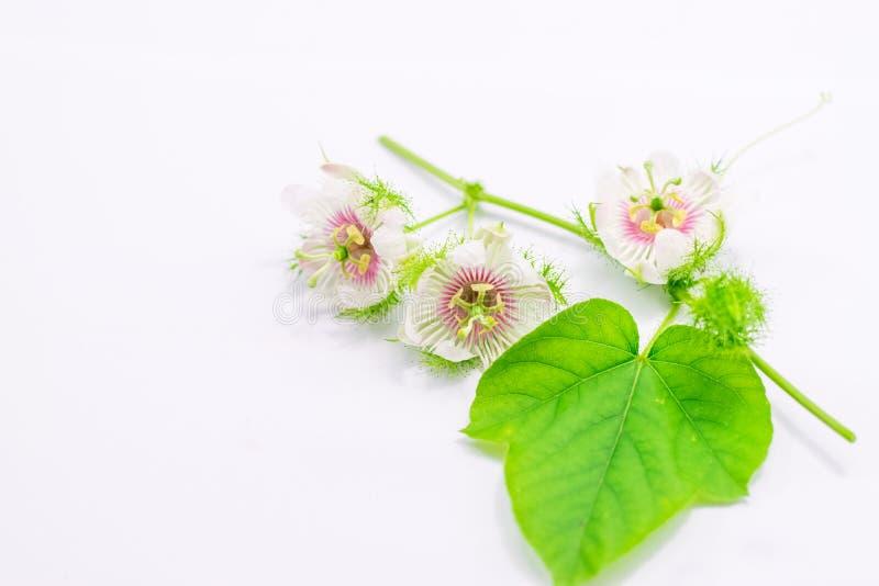 Cuchn?cy passionflowers na bielu zdjęcie royalty free