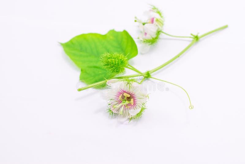 Cuchn?cy passionflowers na bielu zdjęcie stock