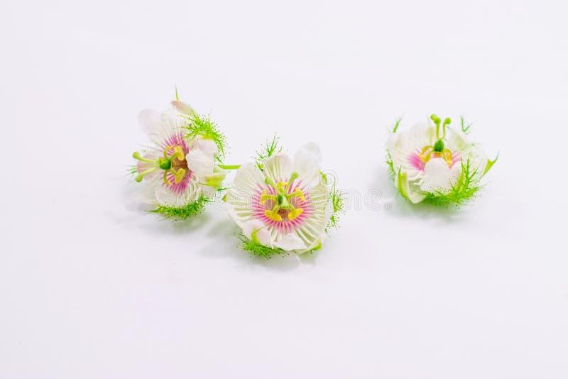 Cuchn?cy passionflowers na bielu zdjęcia royalty free