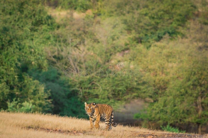 Cucina tigre, coraggiosa e giocosa, che cammina a testa in assenza della madre sullo sfondo verde nel parco nazionale di ranthamb fotografia stock