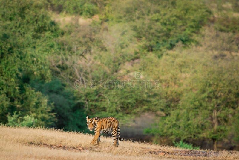 Cucina tigre, coraggiosa e giocosa, che cammina a testa in assenza della madre sullo sfondo verde nel parco nazionale di ranthamb fotografie stock