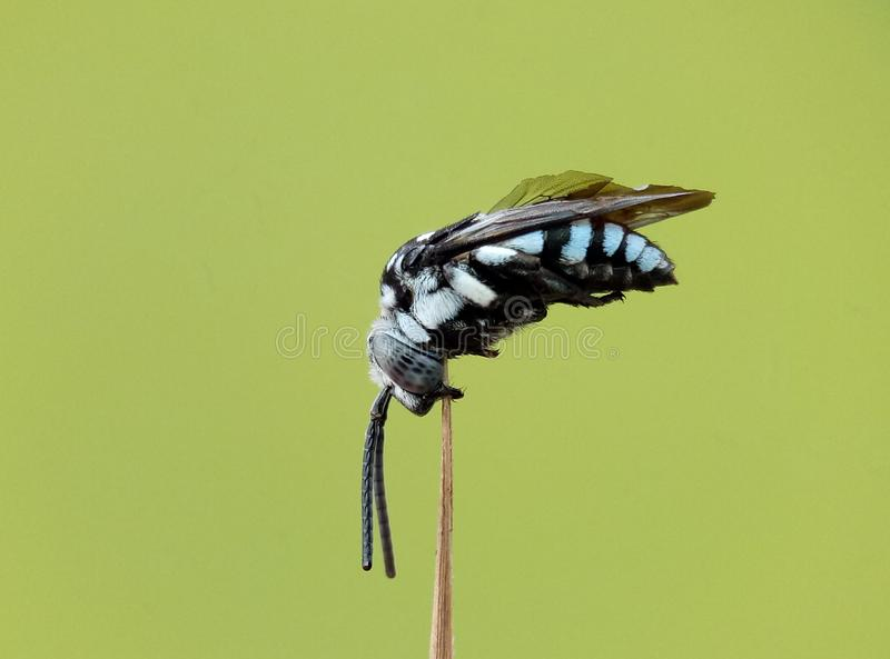 cucko Biene stockfotos