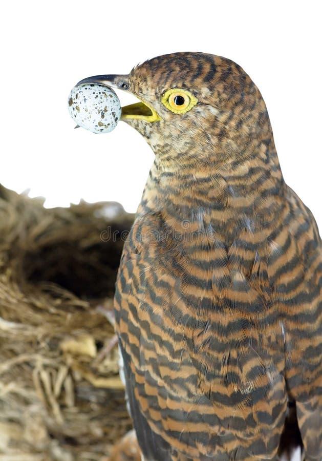 Cuckoo royalty free stock photography