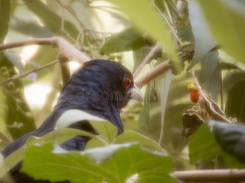 Cuckoo bird royalty free stock photos