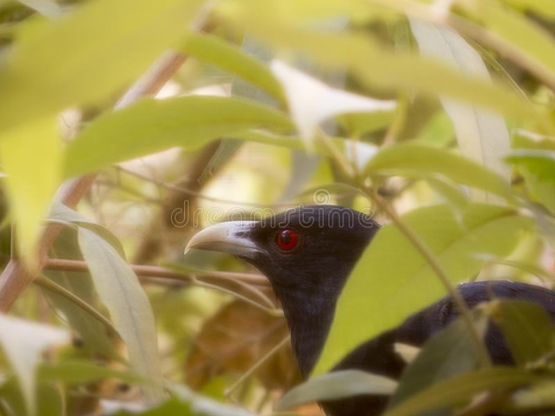 Cuckoo bird stock image