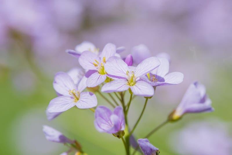 Cuckoo-blommans makro, lila med mjuk bakgrund royaltyfria foton