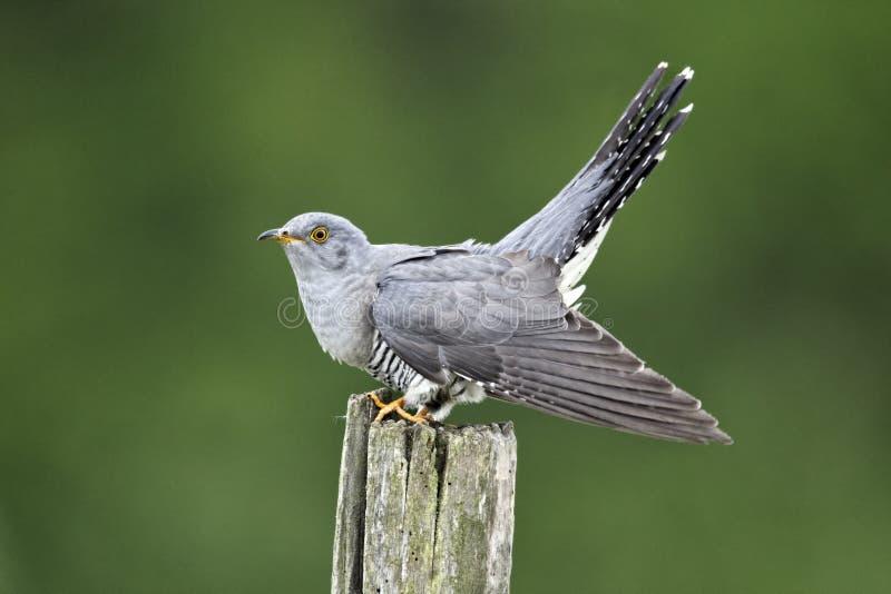 Cuckoo, Cuculus canorus stock photos