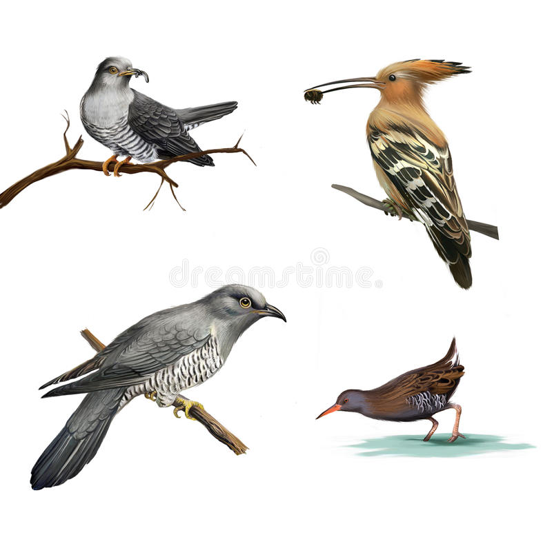 Cuckoo on a tree, Hoopoe (Upupa epops) and water bird, Isolated on white background. stock illustration