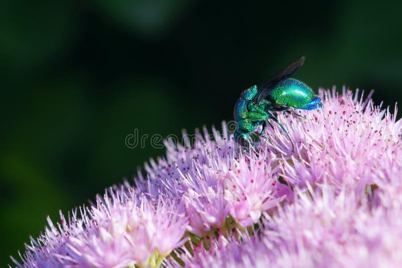 Cuckoo wasp stock photo
