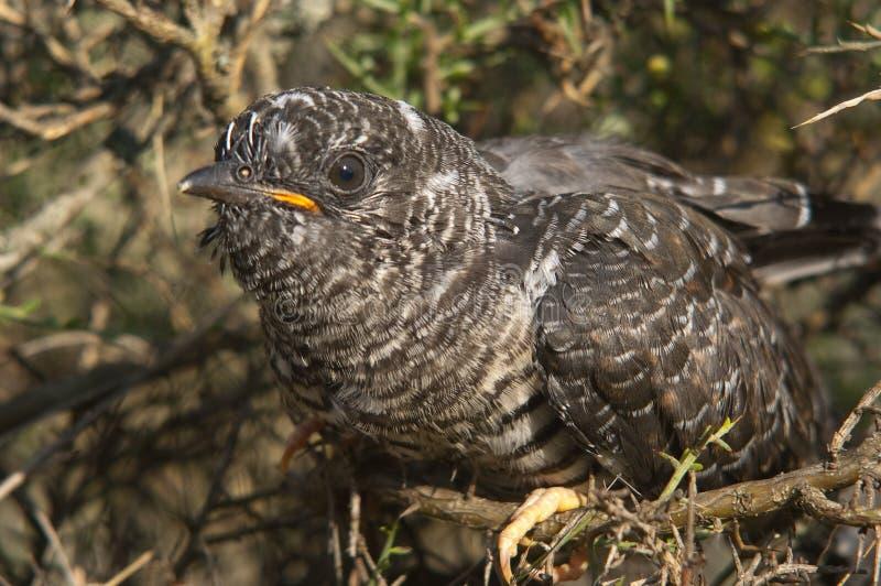 Cuco común - joven del canorus del Cuculus foto de archivo libre de regalías