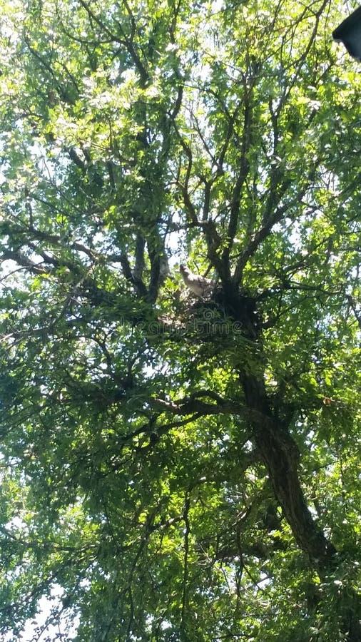 Cuco terrestre australiano na árvore foto de stock royalty free
