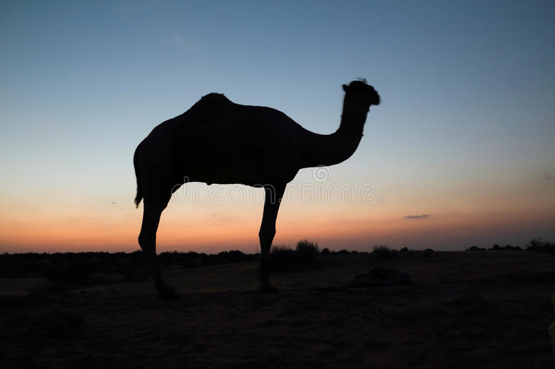 The cucoloris of camel royalty free stock photo