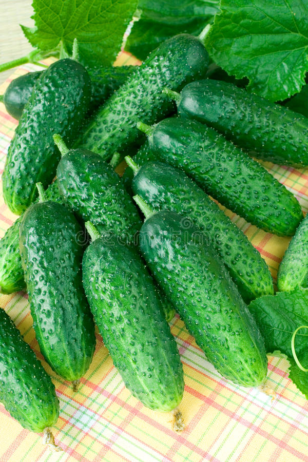Cucumber. Fresh cucumbers on table with leafs royalty free stock photography