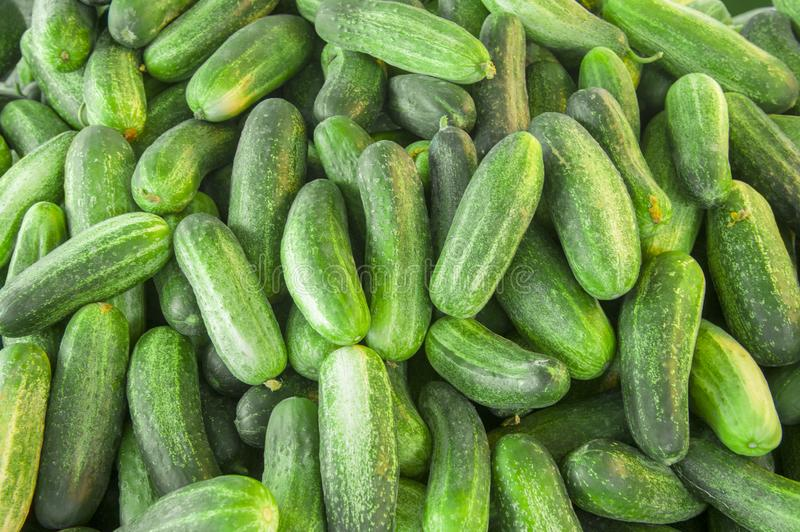 Cucumber background Cucumber harvest. many cucumbers. cucumbers from the field royalty free stock image