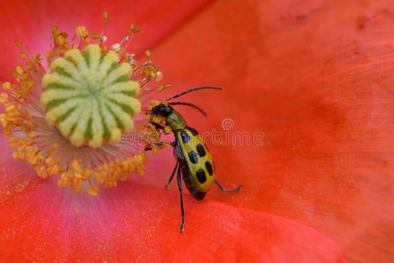 Cucumber Beetle Eats Poppy Flower Anthers 02 stock afbeeldingen