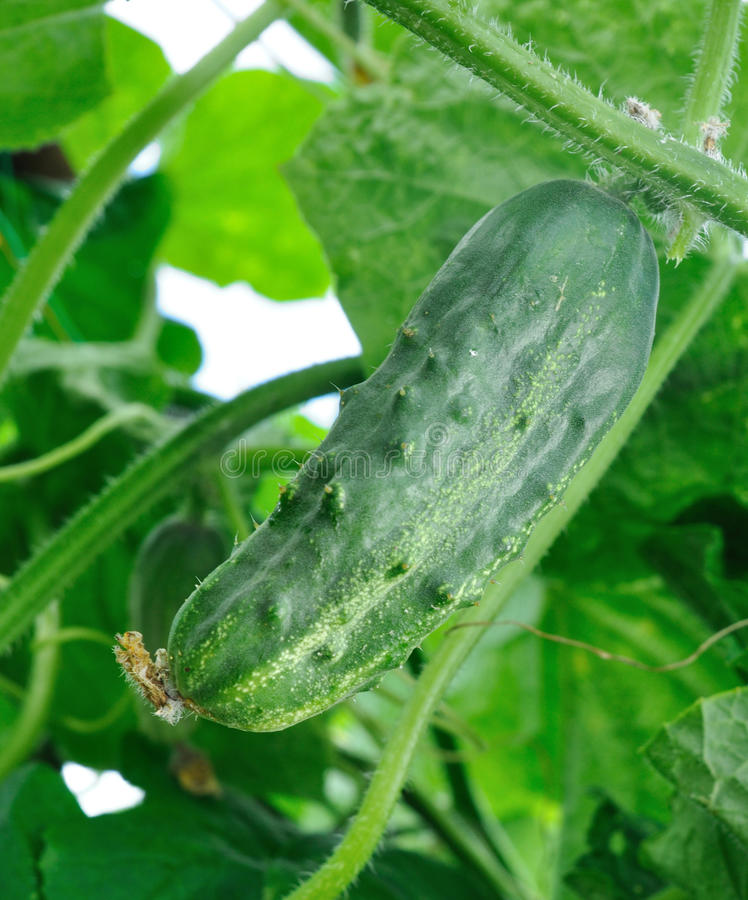 Download Cucumber on branch stock image. Image of agricalture - 25455535
