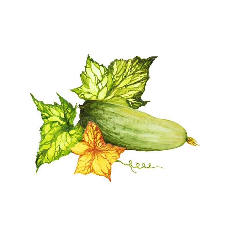 Cucumber with branch, its leaves. And flowers. watercolor set of isolated illustrations royalty free illustration