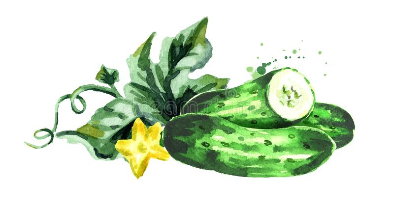 Cucumber composition. Watercolor hand drawn illustration isolated on white background.  stock illustration