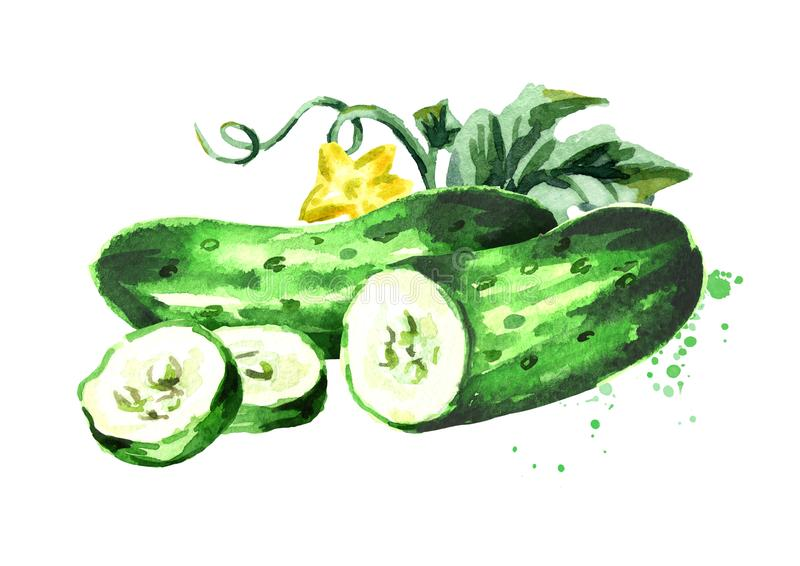 Cucumber composition. Watercolor hand drawn illustration, isolated on white background. Cucumber composition. Watercolor hand drawn illustration, isolated on royalty free illustration