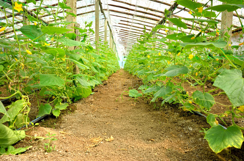 Download Cucumber Crop In Greenhouse Stock Photo - Image: 32031766