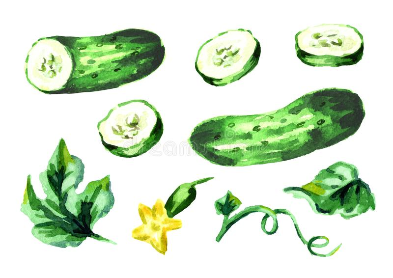 Cucumber elements set. Watercolor hand drawn illustration, isolated on white background. Cucumber elements set. Watercolor hand drawn illustration, isolated on vector illustration