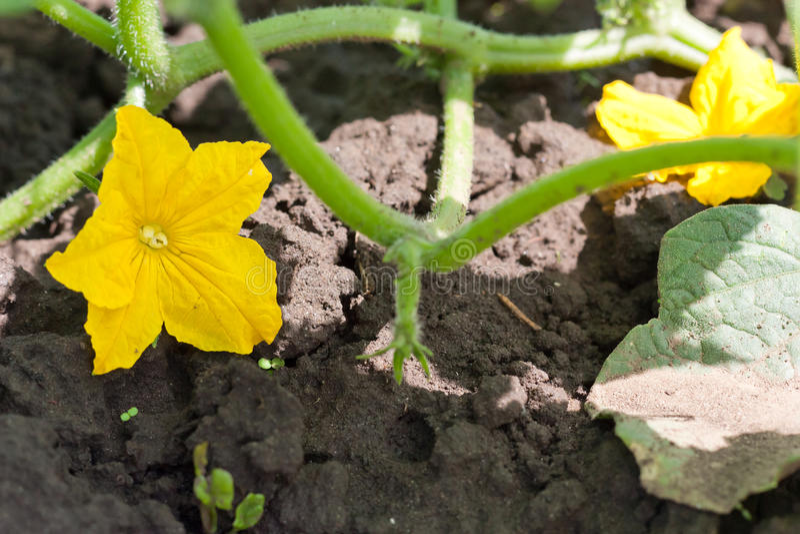 Cucumber Flower Stock Photography