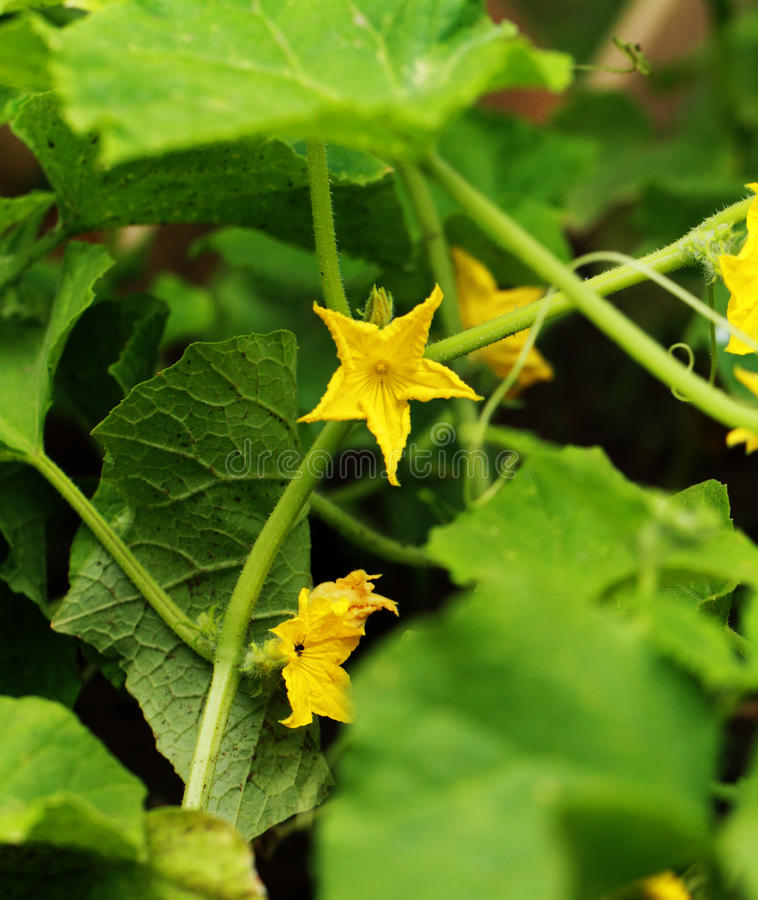 Cucumber flower royalty free stock photography