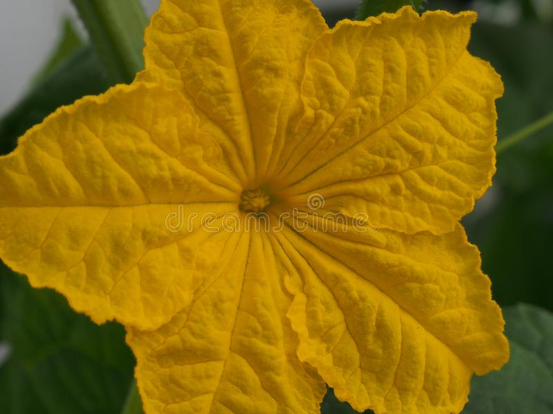 Cucumber flower Bud. Large flower yellow. Olericulture. Close up, organic, farming, healthy, plant, nutrition, garden, growing, fresh, leaf, food, green stock photo