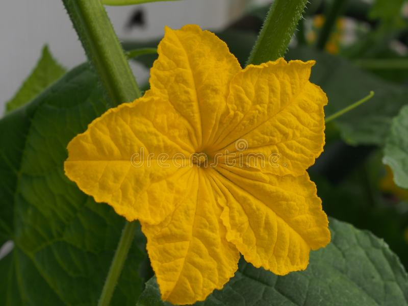 Cucumber flower Bud. Large flower yellow. Olericulture. Close up, organic, farming, healthy, plant, nutrition, garden, growing, fresh, leaf, food, green royalty free stock images