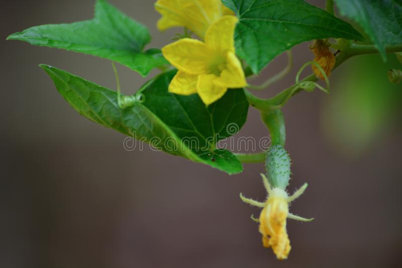 Cucumber flowers and fruits grown in the vegetable garden stock image