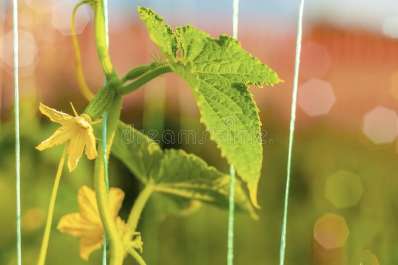 Cucumber grows in the garden. Fresh organic cucumber close-up. Flowers and leaves, tied up cucumber lashes. The concept of gardening royalty free stock images