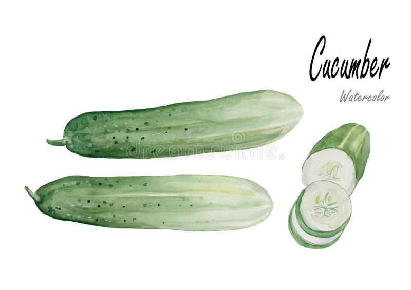 Cucumber .Hand drawn watercolor painting on white background. Set of Cucumber .Hand drawn watercolor painting on white background.Vector illustration,object stock illustration