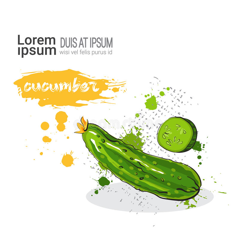 Cucumber Hand Drawn Watercolor Vegetables On White Background With Copy Space. Vector Illustration stock illustration