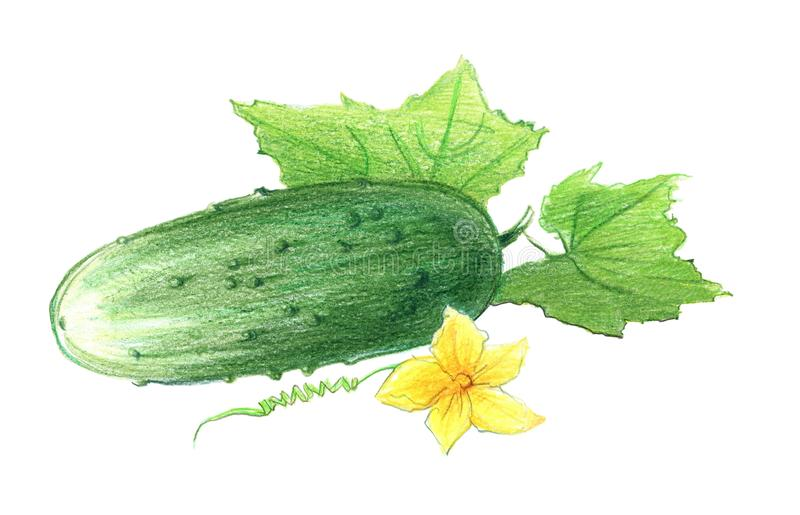Cucumber with leaves and  flower. Drawing with colored pencils, isolated on white background. Cucumber with leaves and a flower. Drawing with colored pencils stock illustration