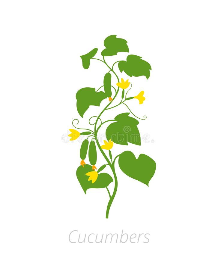 Cucumber plant. Cucumis sativus. Agriculture cultivated cucumber plant. Green leaves. Flat color Illustration clipart on white vector illustration