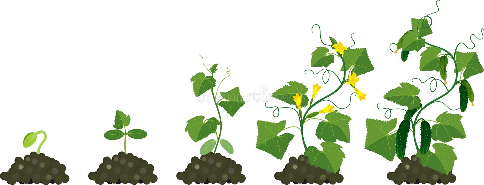 Cucumber plant growth cycle royalty free illustration