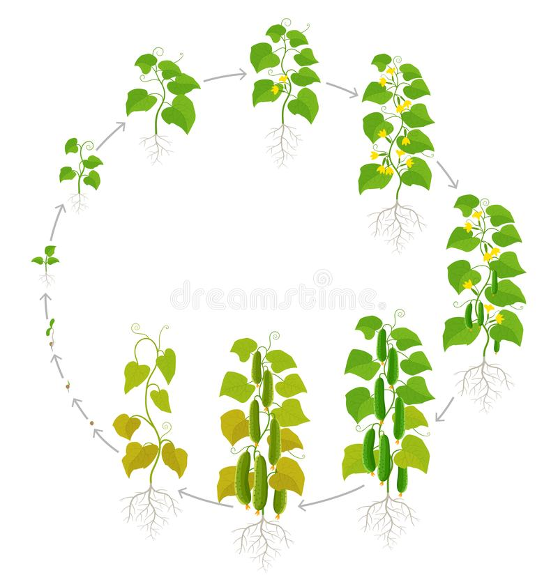 Cucumber plant. Growth stages. Vector illustration. Ripening period. The life cycle of the vegetable. Cucumber plant. Growth stages. Ripening period. The life royalty free illustration