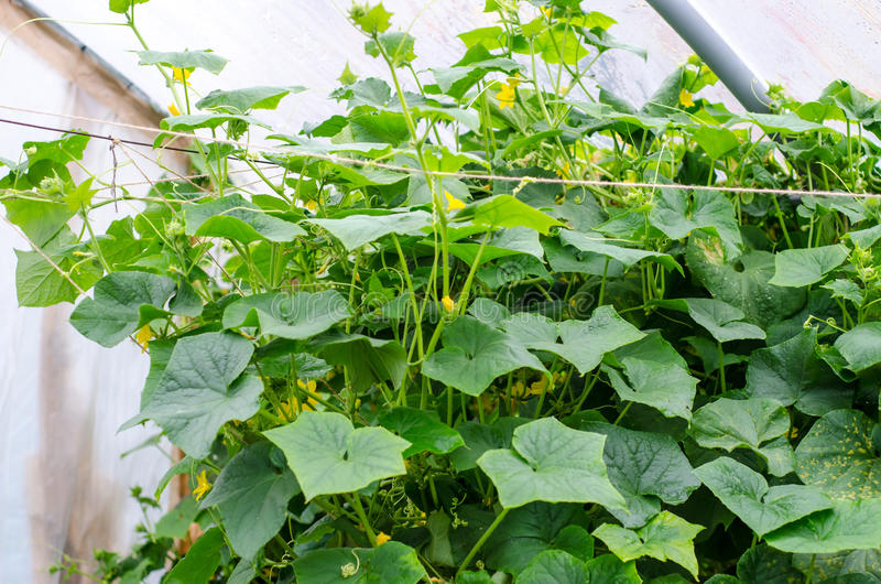 Download Cucumber plants stock image. Image of greenhouse, flowers - 31950471