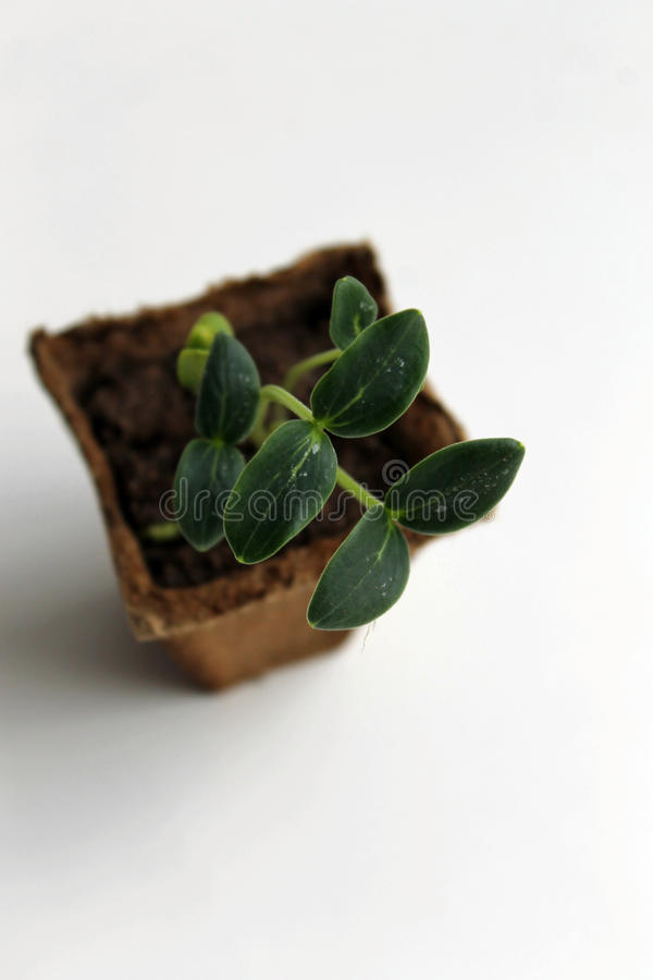 Cucumber seedling royalty free stock images