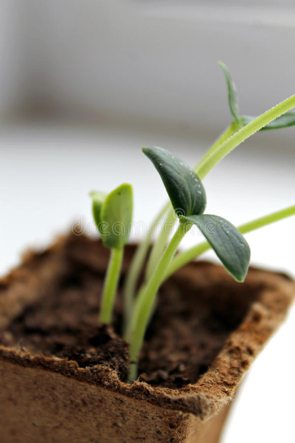 Cucumber seedling stock photography