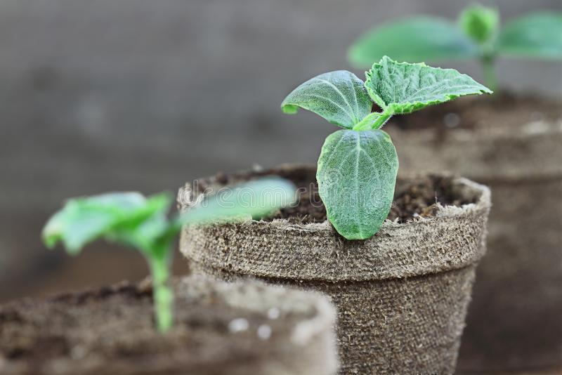 Cucumber Seedlings in Peat Pots. Three Cucumber plants with soil in trowel and seedling peat pots in the background over a rustic wooden background. Extreme royalty free stock photography