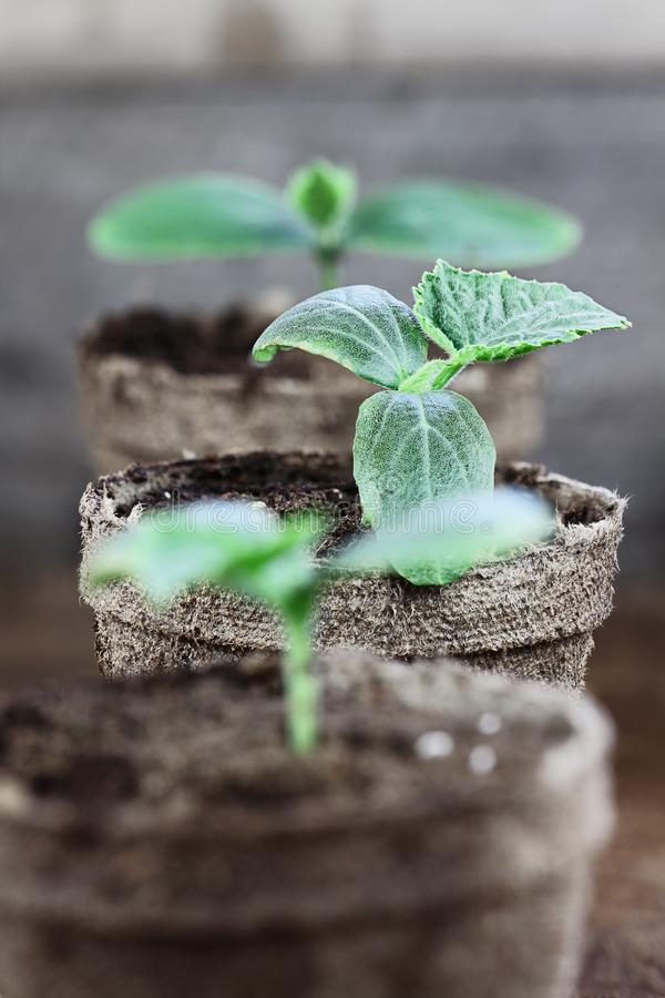 Cucumber Seedlings in peat pots. Three Cucumber plants with soil in trowel and seedling peat pots in the background over a rustic wooden background. Extreme royalty free stock photo