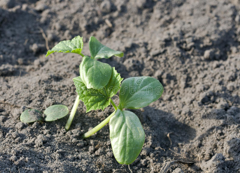 Download Cucumber Sprout Stock Photos - Image: 28751543
