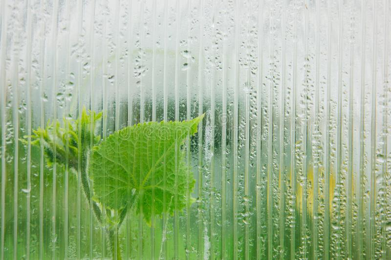 Cucumber sprout behind a misted glass of a greenhouse. stock photography