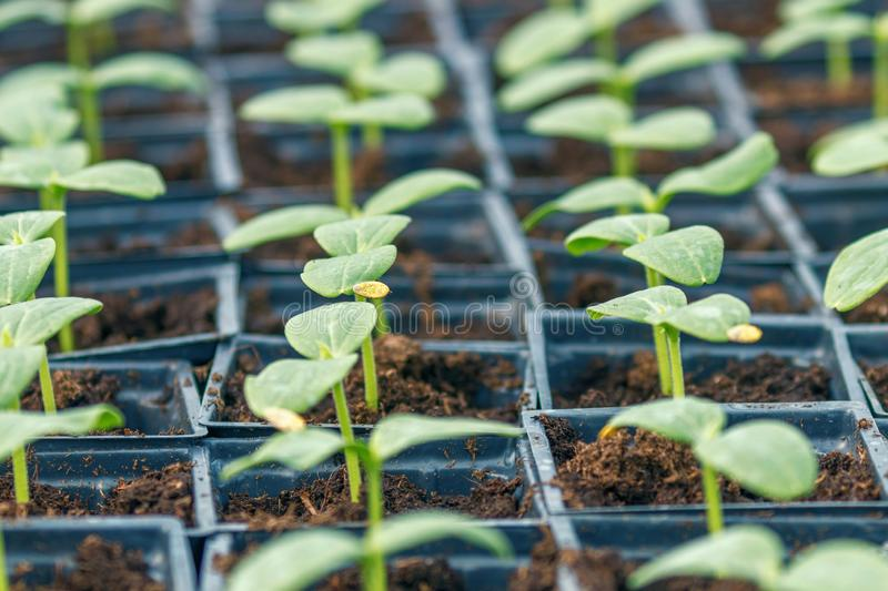 Cucumber Sprouts Greenhouse, Potted Cucumber. Sprouted Cucumber. Spring Seedlings. Agriculture royalty free stock images