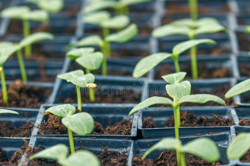 Cucumber Sprouts Greenhouse, Potted Cucumber. Sprouted Cucumber. Spring Seedlings. Agriculture royalty free stock photo