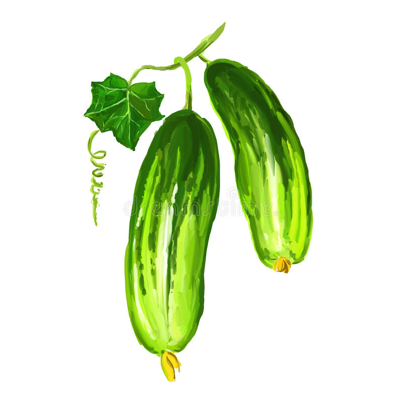 Cucumber vegetable vector illustration hand drawn. Painted watercolor stock illustration