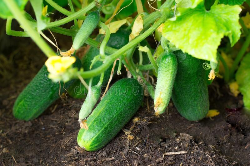 Cucumber. Very good harvest of cucumbers. Harvesting of cucumbers. Very tasty vegetables. stock images