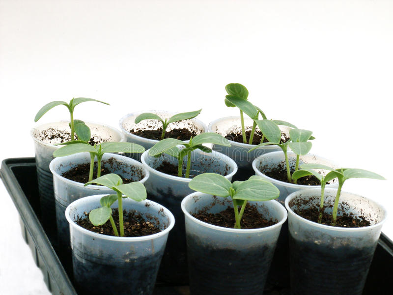Download Cucumbers in cups stock photo. Image of unfolded, begin - 14179150